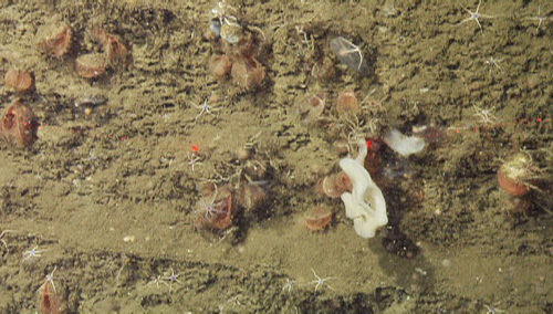 Along with sponges and brittle stars, numerous orange Acesta clams were clustered on this wall. They behave like scallops, hanging with their shells ajar, filtering the surrounding waters for small particles of food.