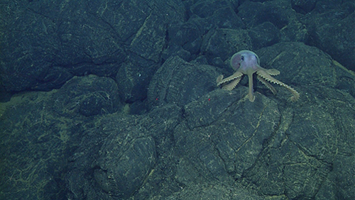 An octopus (Graneledone boreopacifica) crosses lava of the 2011 flow.