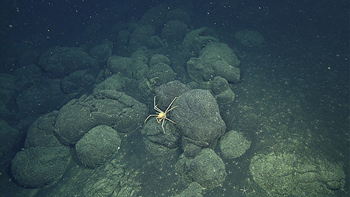 spider crab on pillow lavas