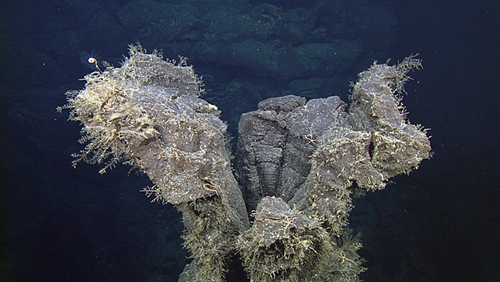 hydroids colonizing a hollow lava pillar