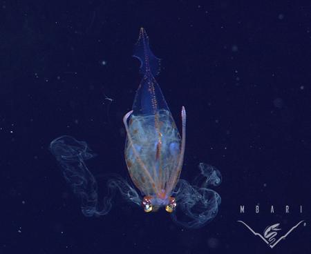 <em>Galiteuthis phyllura</em><br>Cockatoo squid