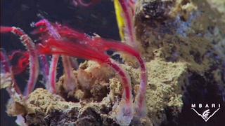 Boneworms on dead whales in Monterey Bay