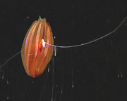 ctenophore