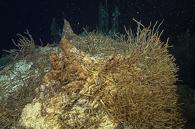 dense colonies of Oasisia tubeworms