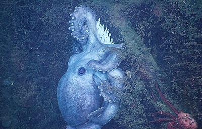 female octopus