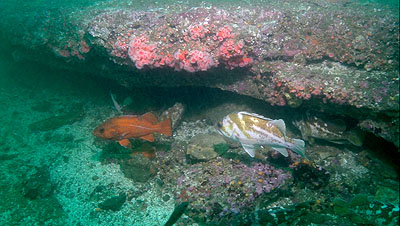 Taken by SeeStar of rockfish and anenomes