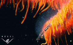 siphonophore2-sm