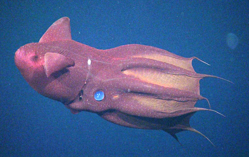 Male vampire squid pass packets of sperm to females during mating. Females, like the one in this photo, have special pouches where they store the packets until they need the sperm. One of these packets appears as a red dot near the vampire squid's eye.
