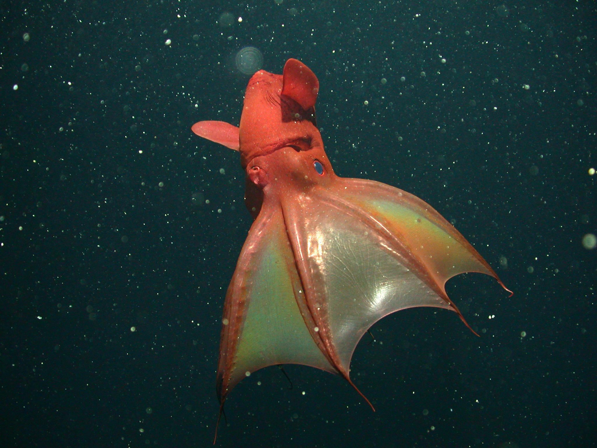 <em>Vampyroteuthis infernalis</em><br>Vampire squid
