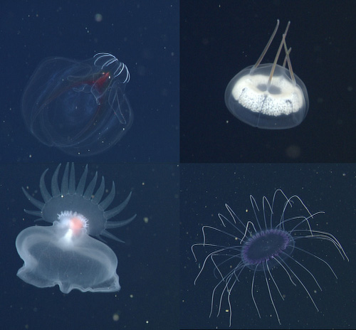 We then spent the rest of the 12-hour dive ascending slowly, searching for interesting animals. Among some of the most striking animals we saw were: (clockwise from upper left): the lobate ctenophore Bathocyroe, the narcomedusa Aegina, a purple narcomedusa Solmissus, and an undescribed mollusc that we call the Mystery Mollusc because it was unknown what group to put it in when it was first discovered.