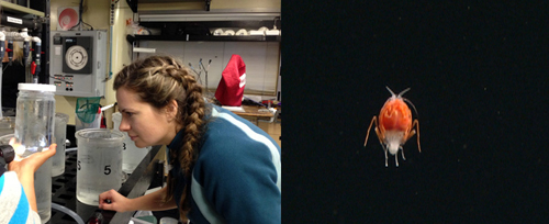 (Left) Jamie looks at the animal in a sampler after an ROV dive. (Right) A lanceolid amphipod.