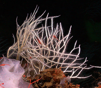 Close-up view of Asbestopluma monticola, one of four new species of carnivorous sponges discovered off the West Coast of North America. Image: © 2006 MBARI