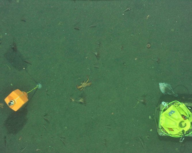 Tanner crab, flatfish, sea pens, and anenomes. Photo taken with imaging AUV.