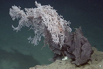 Deep-sea currents wrapped this plastic bag around a deep-sea gorgonian coral 2,115 meters (almost 7,000 feet) below the ocean surface in Astoria Canyon, off the Coast of Oregon. Image: ©2006 MBARI