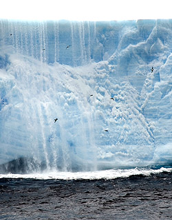Ken Smith's team observed that several types of open-ocean birds, including these Cape Petrels, were more abundant around drifting icebergs than in the open waters of the Weddell Sea. The waterfall behind the birds is meltwater from the iceberg, which appears to act as a fertilizer to the waters surrounding the ice. Image: (c) 2005 Rob Sherlock