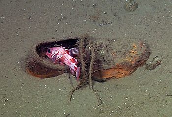 A young rockfish hides out in a discarded shoe, 472 meters (1,548 feet) deep in San Gabriel Canyon, off Southern California. Image: ©2010 MBARI