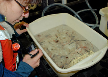 Alicia Bitondo sorts through the trawl specimens looking for squid. Photo by Kat Bolstad.