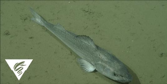 Sablefish<br><em>Anoplopoma fimbria</em>