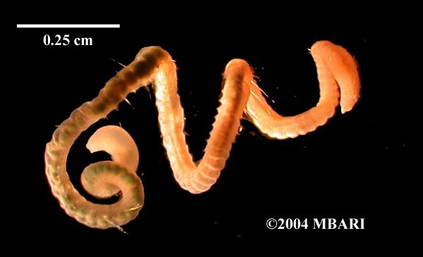 <em>Aphelochaeta tigrina</em>