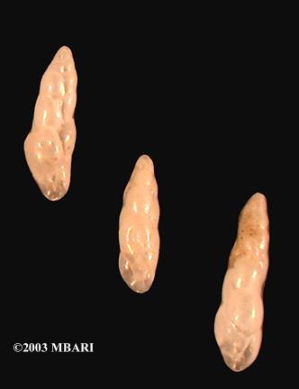 <em>Bulininella tenuata</em>