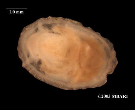 <em>Calyptraeidae</em>