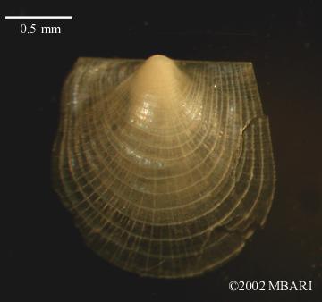 Juvenile Camptonectid