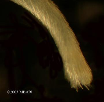 <em>Chaetoderma elegans</em>