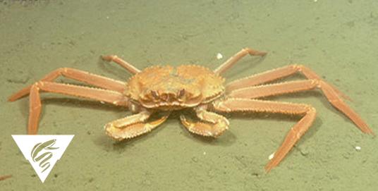Grooved Tanner crab<br><em>Chionoecetes tanneri</em>