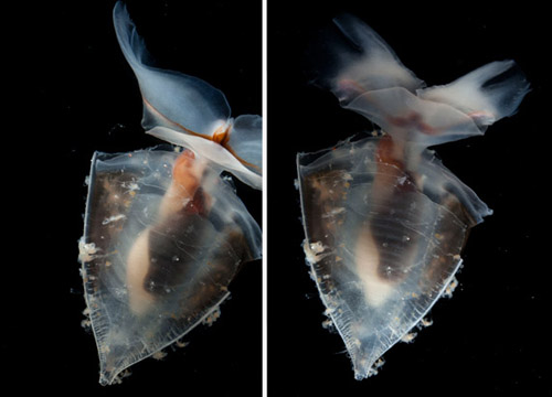 Examples of bad and good images of the pteropod Clio recurva. In the left image, you can see a great view of the mouth parts (the dark part in between the wings), but the wings are obscured due to movement of the animal in the tank.