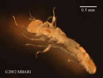 Desmosomatid sp. 1