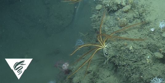 Feather star crinoid<br><em>Florometra serratissima</em>