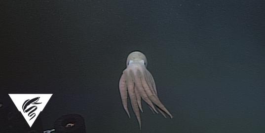 Octopus<br><em>Graneledone boreopacifica</em>