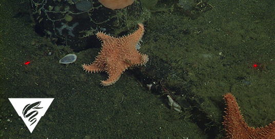 Spiny red seastar<br><em>Hippasteria californica</em>