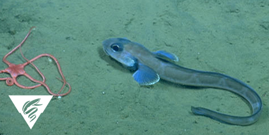 Black eelpout<br><em>Lycodes diapterus</em?>
