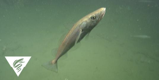 Pacific hake<br><em>Merluccius productus</em>