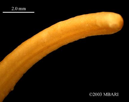 <em>Neomeniomorpha</em> sp. (posterior)