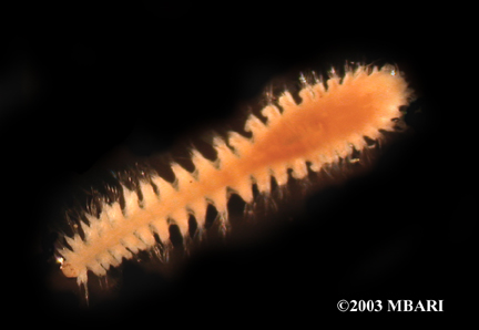 <em>Nephtys cornuta</em>