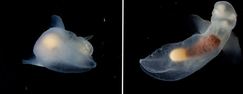 Examples of bad and good images of the pteropod Notobranchaea macdonaldi. Stephanie took 116 images of this animal to get the money shot!