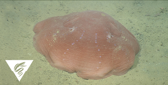 Flapjack octopusOpisthoteuthis cf. californiana