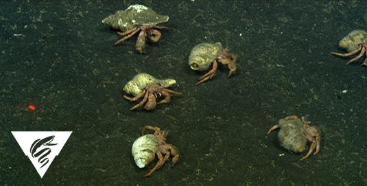 Hermit crab<br><em>Pagurus tanneri</em>