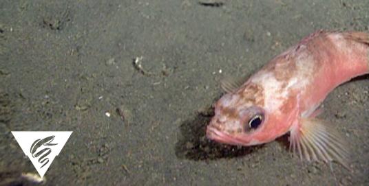 Stripetail rockfish<br><em>Sebastes saxicola</em>