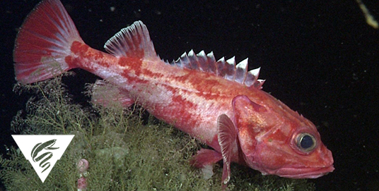 Shortspine thornyhead<br><em>Sebastolobus alascanus</em>