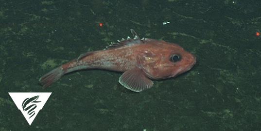 Thornyhead<br><em>Sebastolobus spp.</em>