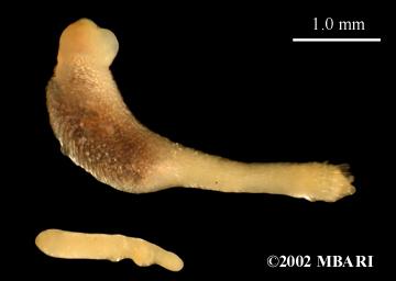 <em>Prochaetodermatidae</em> <br> <em>Spathoderma californicum?</em><br> MBARI Chaetoderm sp. 1
