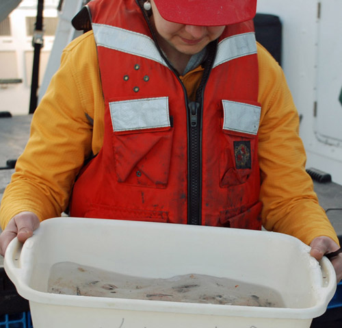 Stephanie Bush carries the bin with the trawl specimens in it from the back deck to the wet lab. Photo by Kat Bolstad.