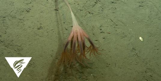 Droopy sea pen<br><em>Umbellula lindahli</em>