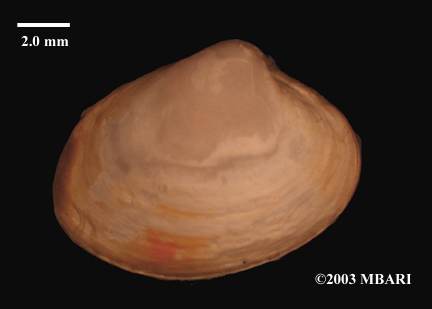 Juvenile Vesicomyid