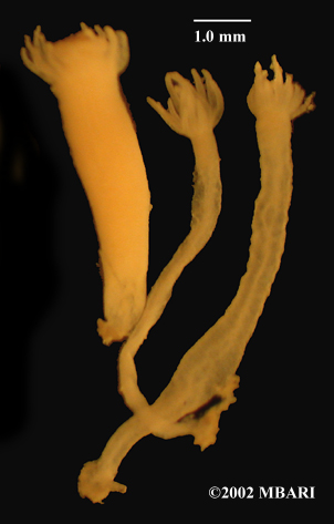 Zooanthids