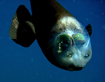 The barreleye (Macropinna microstoma) has extremely light-sensitive eyes that can rotate within a transparent, fluid-filled shield on its head. The fish's tubular eyes are capped by bright green lenses. The eyes point upward (as shown here) when the fish is looking for food overhead. They point forward when the fish is feeding. The two spots above the fish's mouth are are olfactory organs called nares, which are analogous to human nostrils. Image: © 2004 MBARI