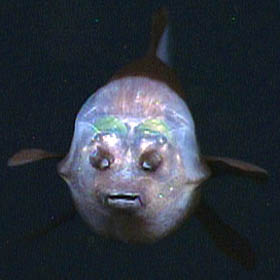 This face-on view of a barreleye shows it's transparent shield lit up by the lights of MBARI's remotely operated vehicle Tiburon. As in the other photos, the two spots above the fish's mouth are are olfactory organs called nares, which are analogous to human nostrils. Image: © 2006 MBARI